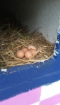 huhn eier