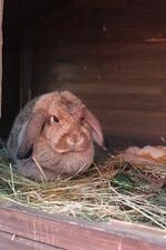 Kulinaki eine Kaninchendame