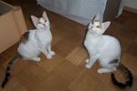 Vermittelt :: Glückskätzinnen Hanni und Tanni, 10 Monate, suchen IHR Zuhause