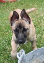 MARGA- ein Charakterhund