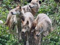 Wolfsrudel neu