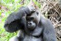 Was haben Handys mit Gorillas zu tun?